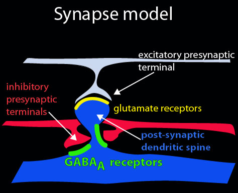 Synapse Model